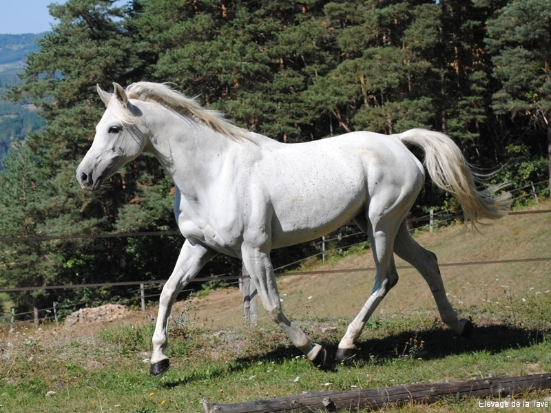 shagya-barsonyka