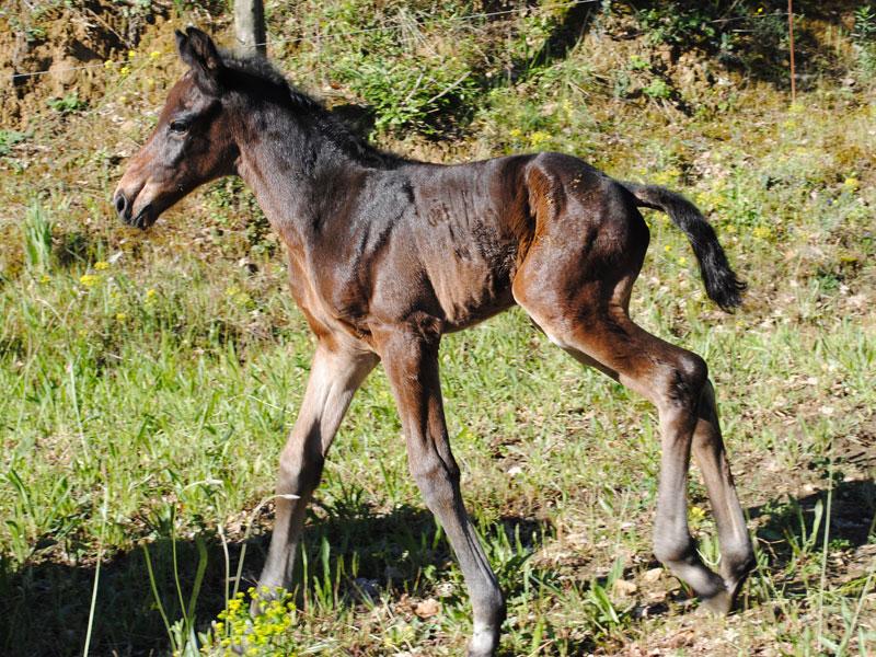 foal2sf